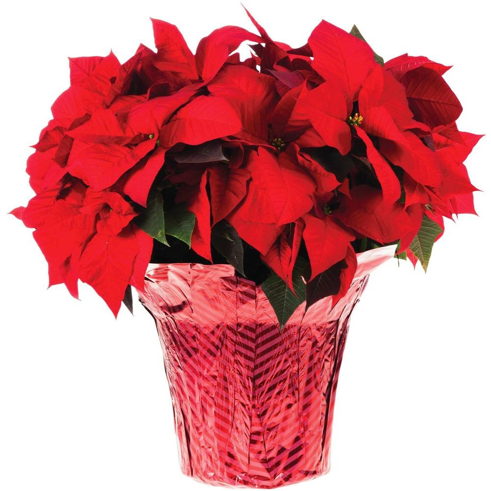 Red Christmas Flower.10 In Live Poinsettia In Store Only 10inp2013 The Home