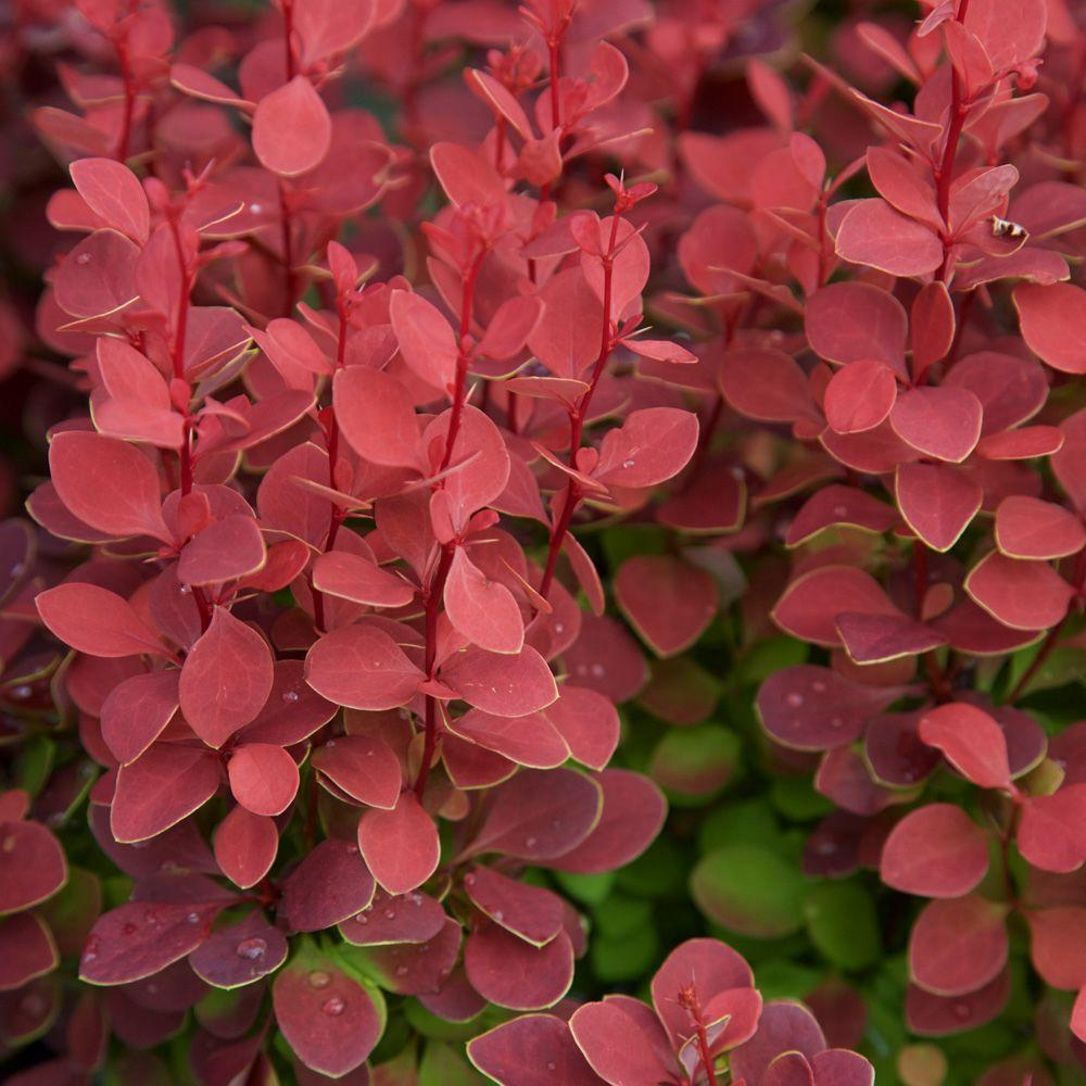 2 Gal. Orange Rocket Barberry, Live Deciduous Plant, Coral to Ruby