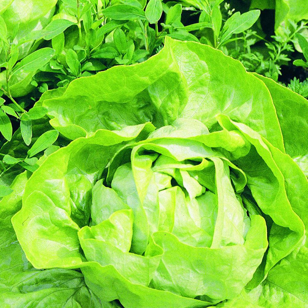 4.5 in. 19.3 oz. Lettuce-Buttercrunch