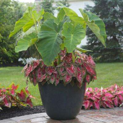 Elephant Ear/Carolyn Whorton Caladium Bulbs Container Collection (14-Pack)