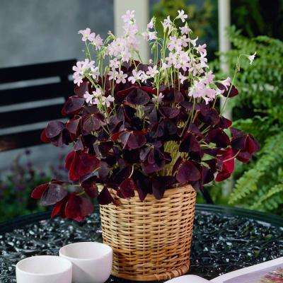 Lucky Clover Kit with Growers Pot and Decorative Basket