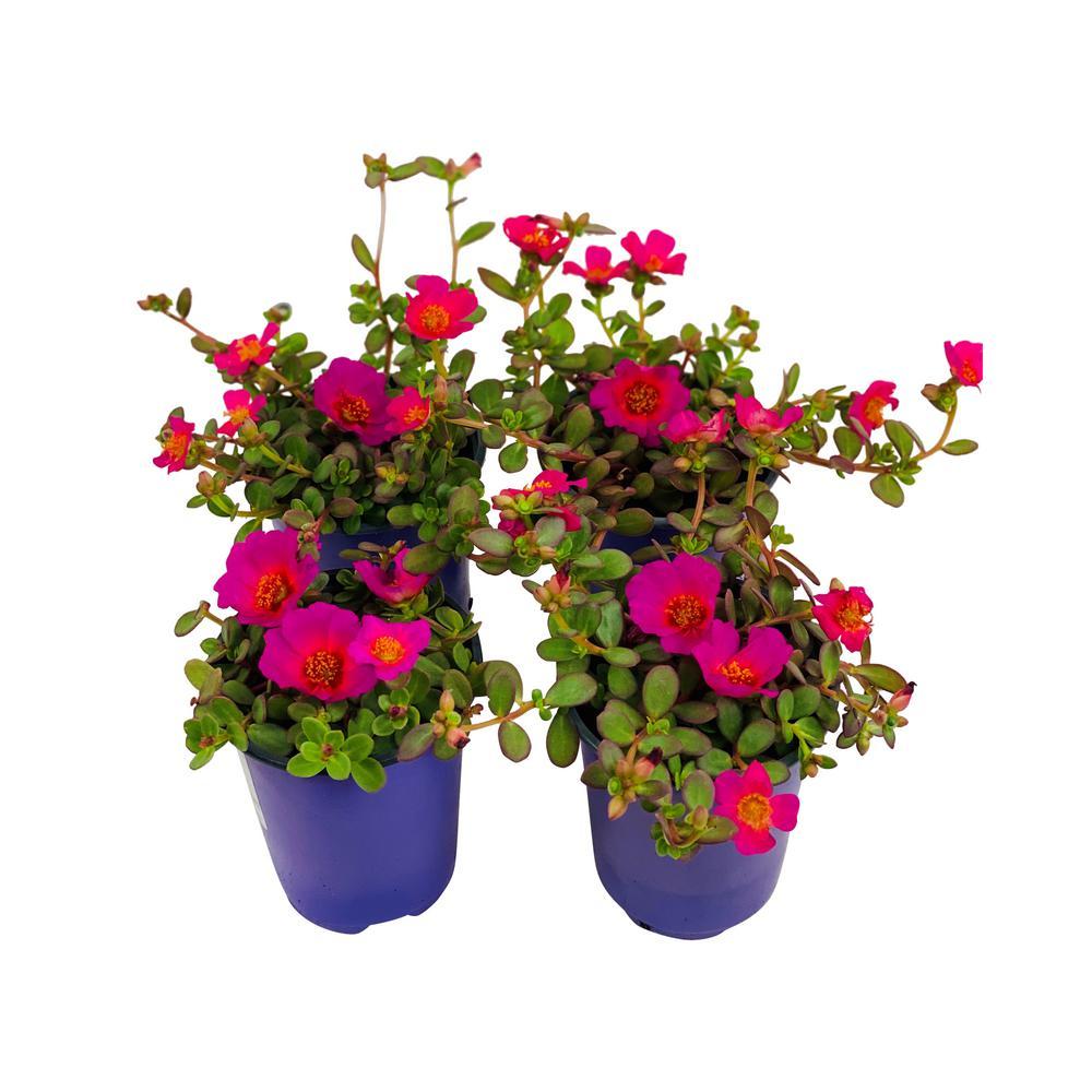 1.38 Pt. Purslane Plant Purple Flowers in 4.5 In. Grower's Pot (4-Plants)