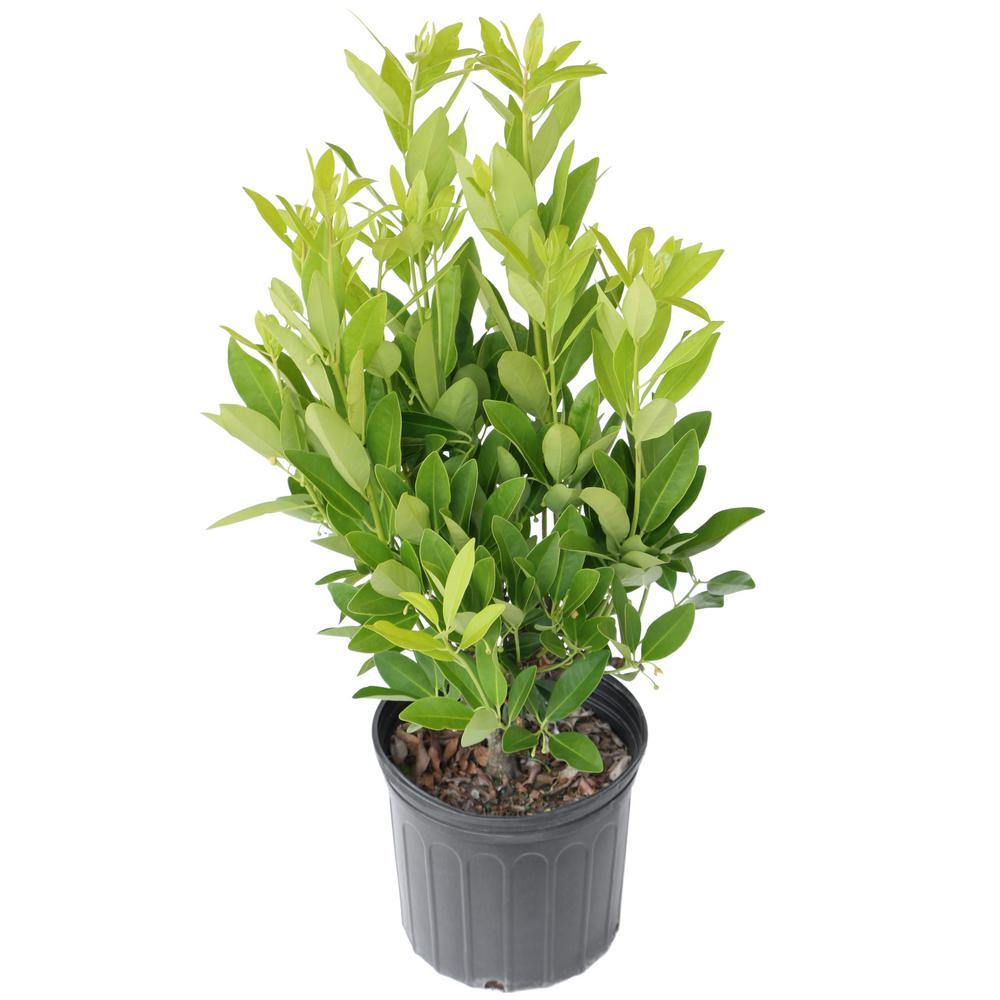 2.25 Gal. Anise Tree Shrub