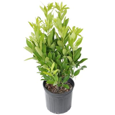 2.25 Gal. Anise Tree Shrub