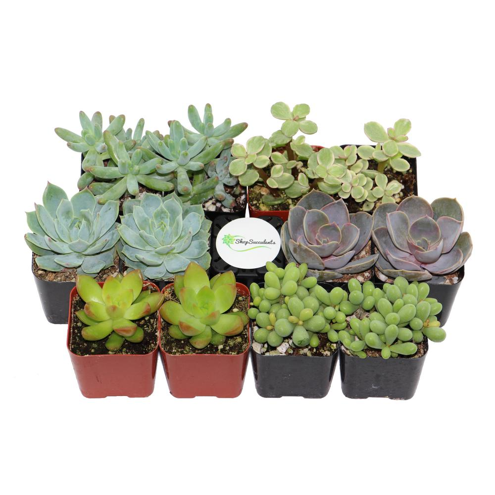 2 in. Premium Pastel Succulent (Collection of 12)