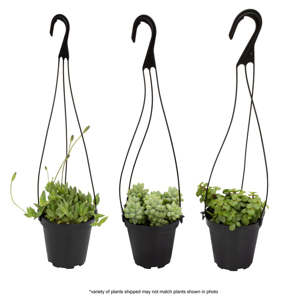 Altman Plants 3.5 in. Assorted Succulent Hanging Basket (3-Pack)