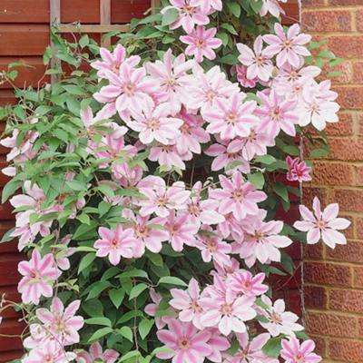 Clematis Nelly Moser Plant (Set of 1 Plant)