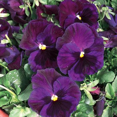4.5 in. Blue and Purple Pansy Plant
