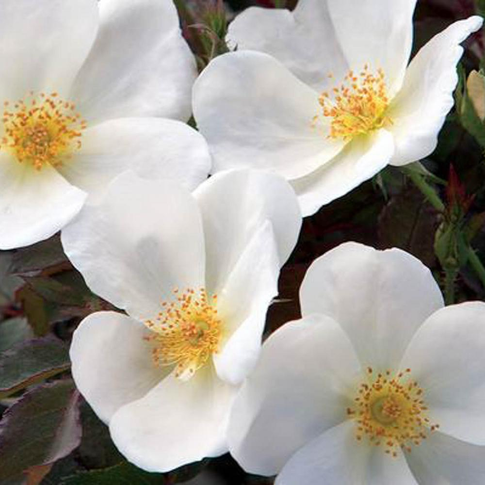 Spring Hill Nurseries Knock Out White Shrub Rose Live Bareroot