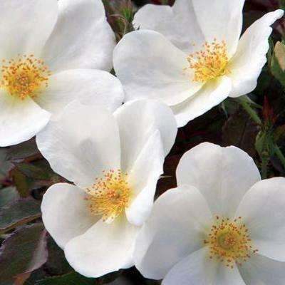 Knock Out White Shrub Rose Live Bareroot Plant with White Color Flowers (1-Pack)