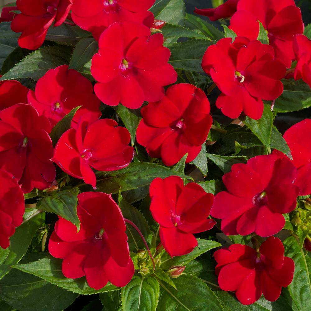 Impatien Part Sun Annuals Garden Plants Flowers The Home Depot