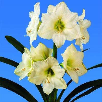 White fall to winter flower bulbs garden plants flowers extra large christmas gift amaryllis mightylinksfo