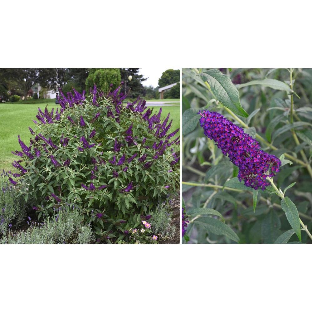 4 in. Dark Dynasty Purple Bloom Buddleia Plant