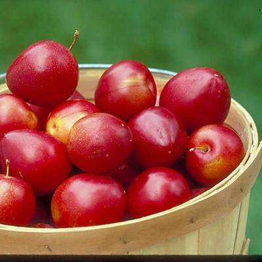Au Roadside Plum Prunus Live Fruiting Bareroot Tree (1-Pack)