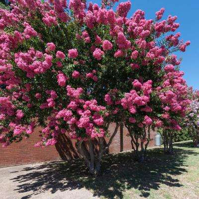 2 in. Pot Catawba Crape Myrtle Lagerstroemia Live Potted Plant with Purple Flowers (1-Pack)