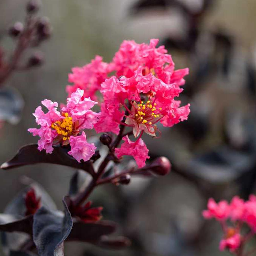 1 Gal. Pink Midnight Magic First Editions Crape Myrtle