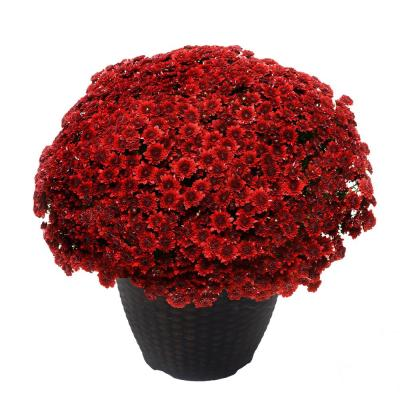 13 in. Chrysanthemum (Mum) Plant in a Decorative Pot with Red Flowers