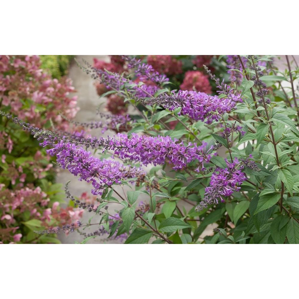3 Gal. InSpired Violet Butterfly Bush (Buddleia) Live Shrub, Purple Flowers