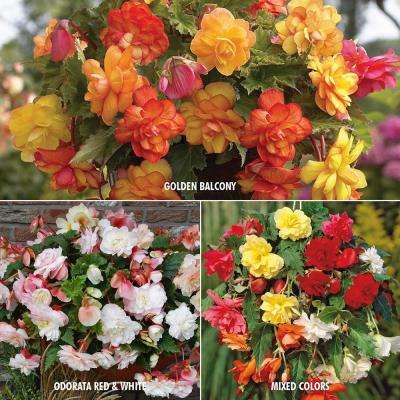 Begonia Collection 3-Variety Bulbs (15-Pack)