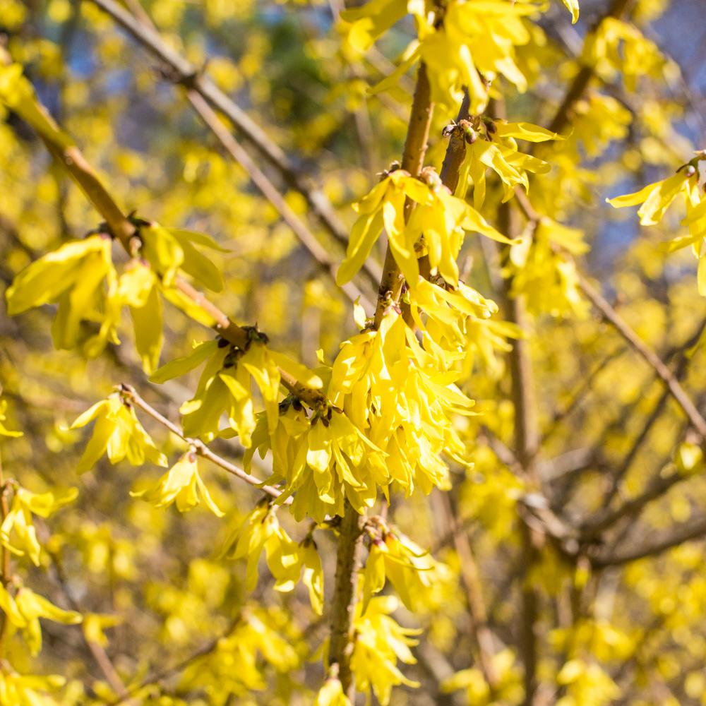 Spring hill nurseries lynwood gold forsythia live bareroot plant spring hill nurseries lynwood gold forsythia live bareroot plant yellow flowers with green foliage mightylinksfo
