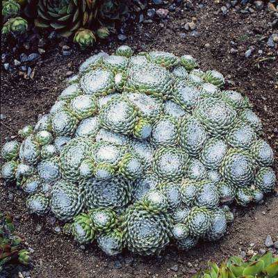 2 in. Pot Spumanti Hens and Chicks Sempervivum Ground Cover with Green Foliage Live Perennial Plant (1-Pack)
