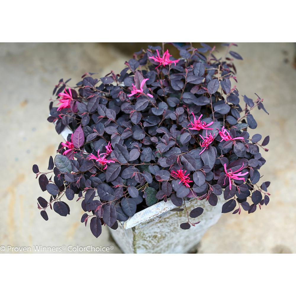 Purple leaf shrub with pink flowers - Qt Jazz Hands Mini Chinese Fringe Flower Loropetalum