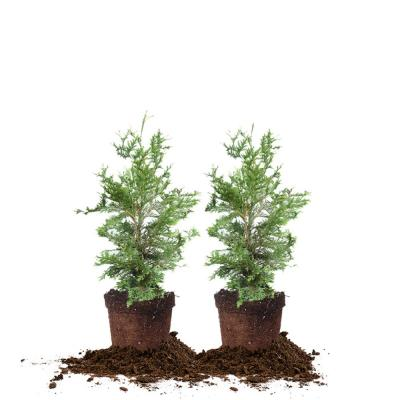 2 ft. - 3 ft. Thuja Green Giant Tree (2-Pack)