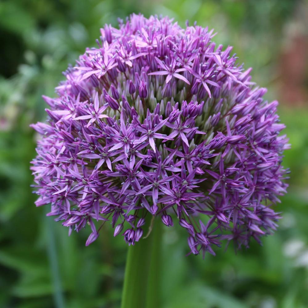 Allium Globemaster Bulb
