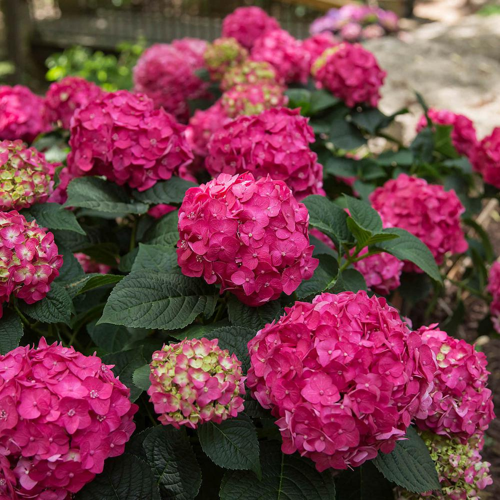 Spring Hill Nurseries 4 In Pot Summer Crush Hydrangea Live Potted Plant With Red Flowering Shrub 1 Pack