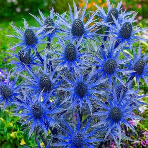 Spring Hill Nurseries Blue Sea Holly Eryngium Live