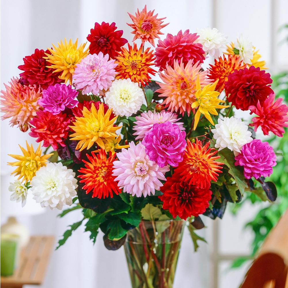 Multi-Colored Dahlia Karma Mixture Flowers Bulb (4-Pack)