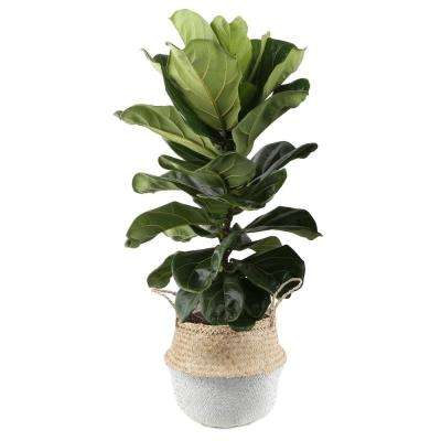 Ficus Lyrata, Fiddle-Leaf Fig Floor Plant in 10 in  Grower Pot in Seagrass  White-Natural Basket