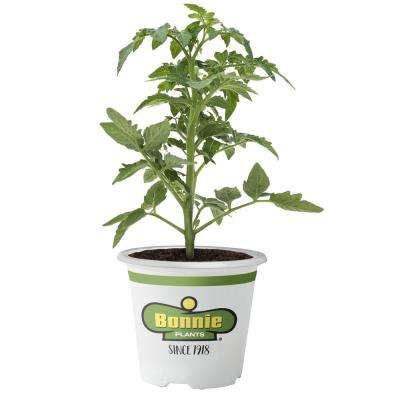 4.5 in. Better Boy Tomato