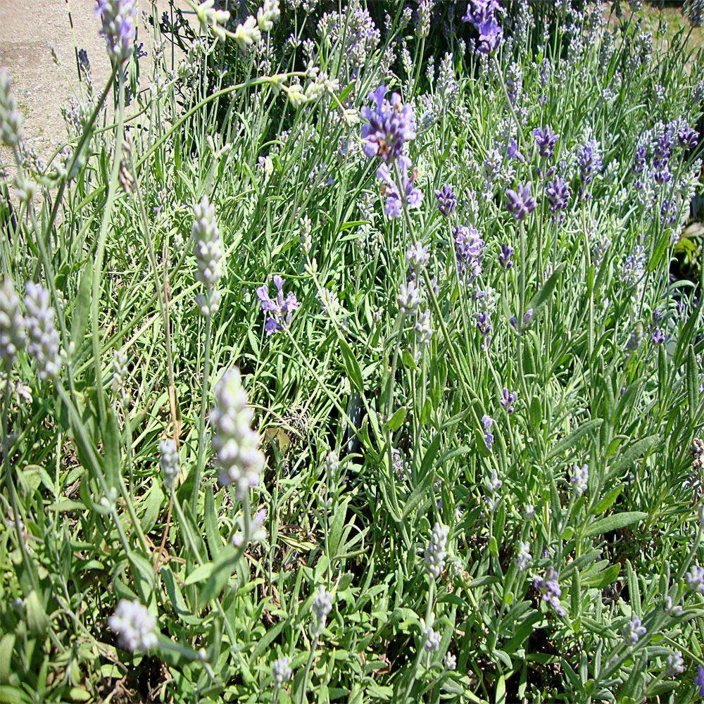 OnlinePlantCenter 1 gal. Hidcote English Lavender Plant