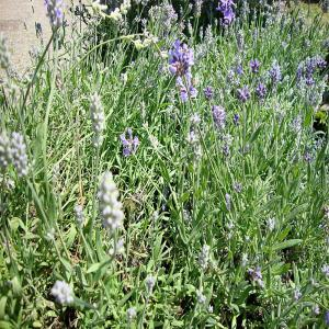 1 gal. Hidcote English Lavender Plant