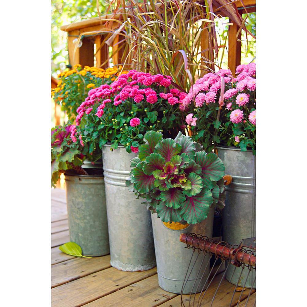 2.5 Qt. Mum Chrysanthemum Plant Purple Flowers in 6.33 In. Grower's Pot (4-Plants)