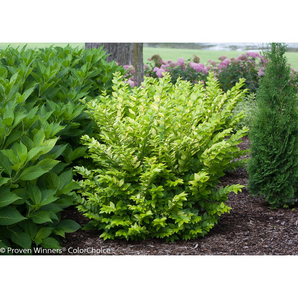 1 Gal. Golden Ticket Privet (Ligustrum) Live Shrub, White Flowers and