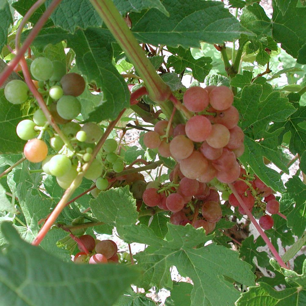 1  Gal. Tickled Pink Grape (Vitis), Live Fruiting Vine, Pink Fruit Clusters (1-Pack)