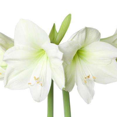Amaryllis flower bulbs garden plants flowers the home depot amaryllis athene bulbs 3 countpack mightylinksfo