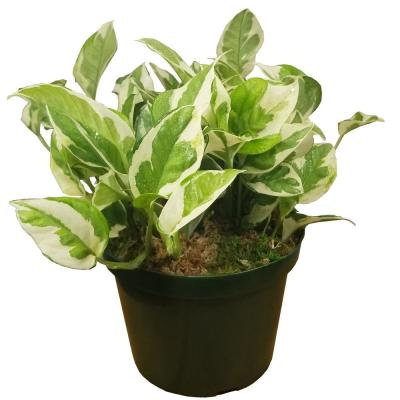 Pearl and Jade Pothos Plant in 6 in. Grower Pot