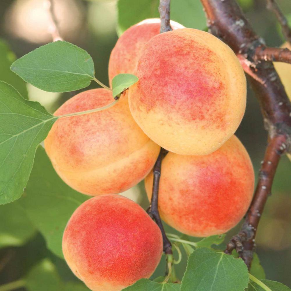 Sugar Pearls Apricot Prunus Live Fruiting Bareroot Tree (1-Pack)