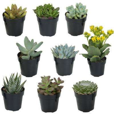 2.5 in. Succulent Collection (9-Pack)
