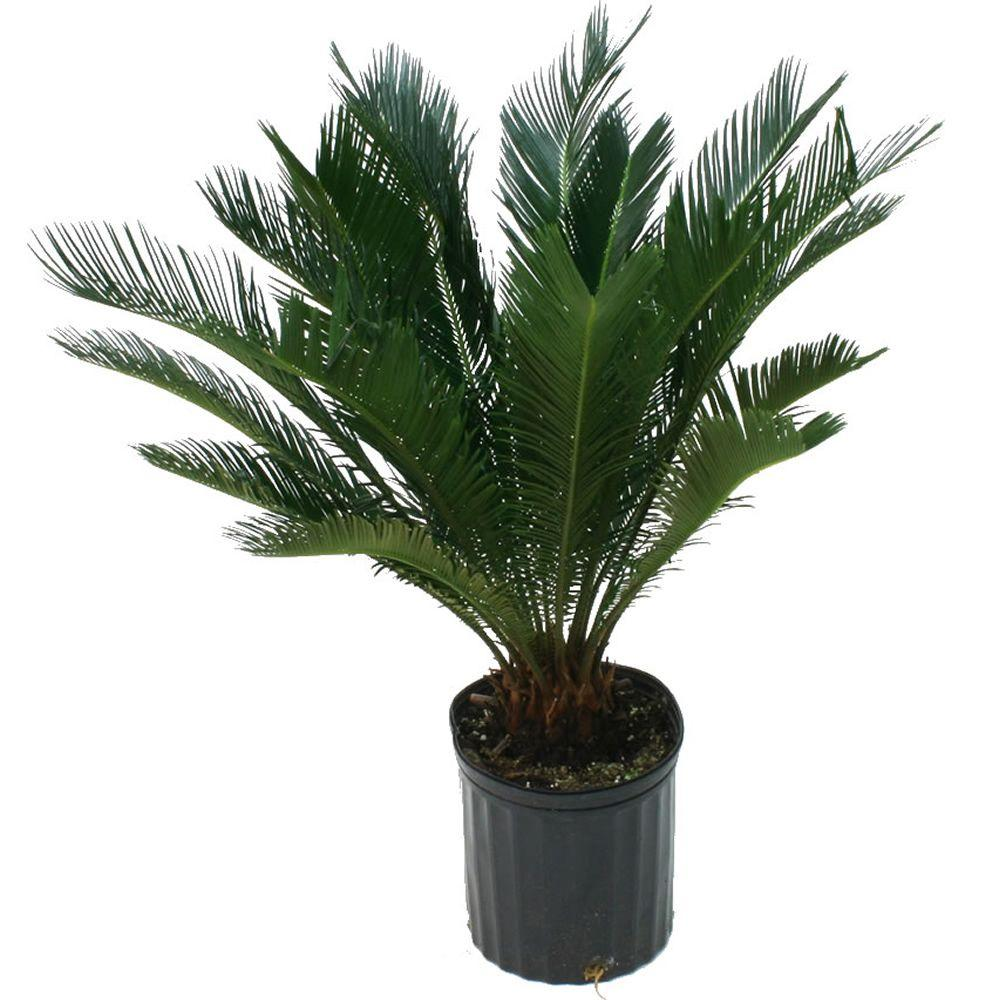 Delray Plants 9-1/4 in. Sago Palm in Pot