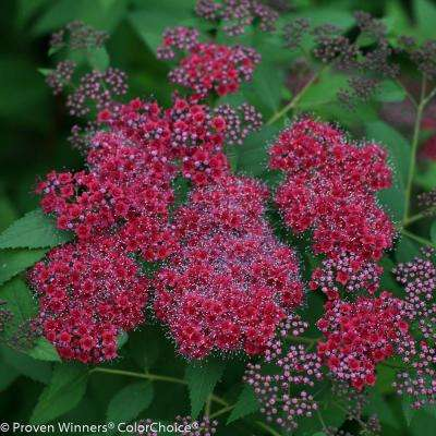 Double Play Red Spirea (Spiraea) Live Shrub, Pink and Red Flowers with Red to Green Foliage, 4.5 in. Qt.
