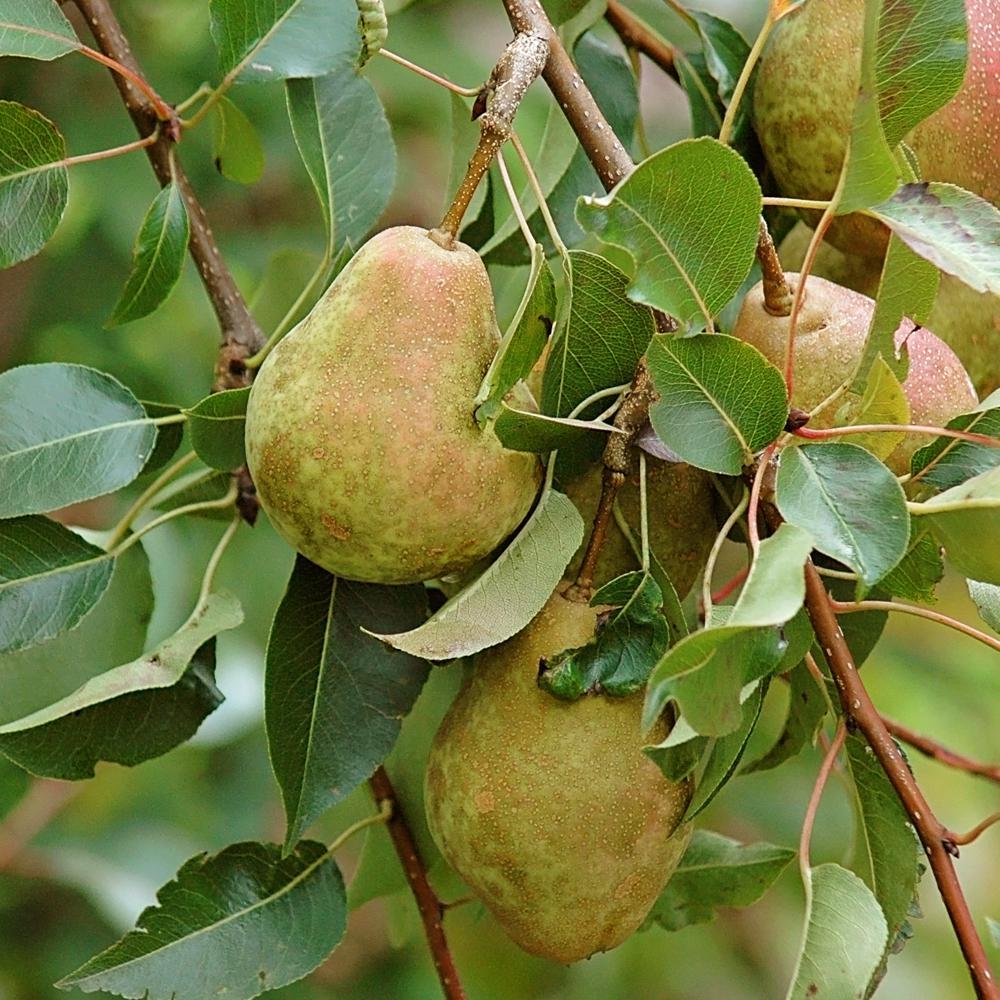 Keifer Pear Tree