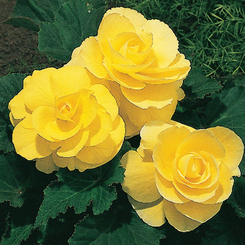 null Begonia Roseform Yellow Dormant Bulbs (4-Pack)