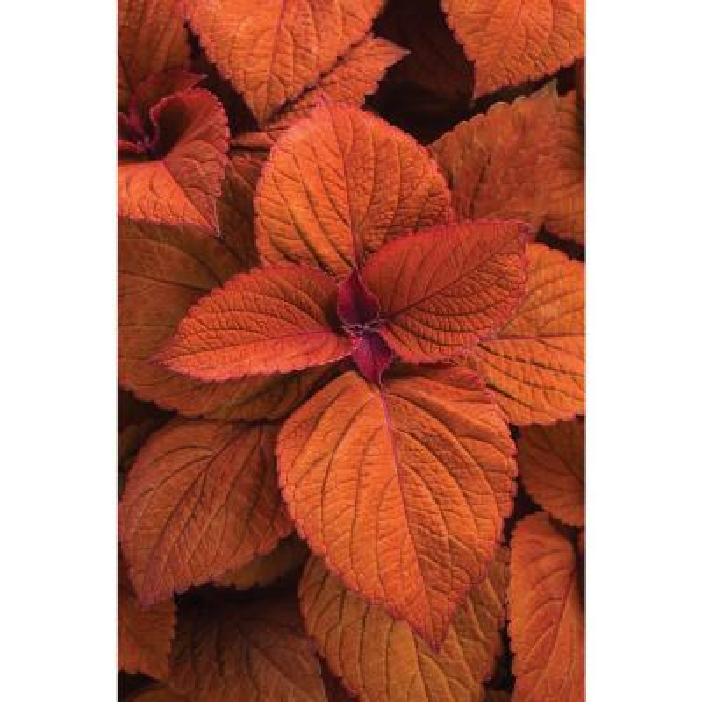 4-Pack, 4.25 in. Grande ColorBlaze Sedona Sunset Coleus (Solenostemon) Live Plant, Orange Foliage