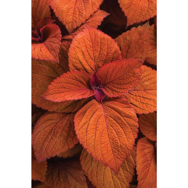 4-Pack, 4.25 in. Grande ColorBlaze Sedona Sunset Coleus (Solenostemon) Live Plant, Orange Foliage