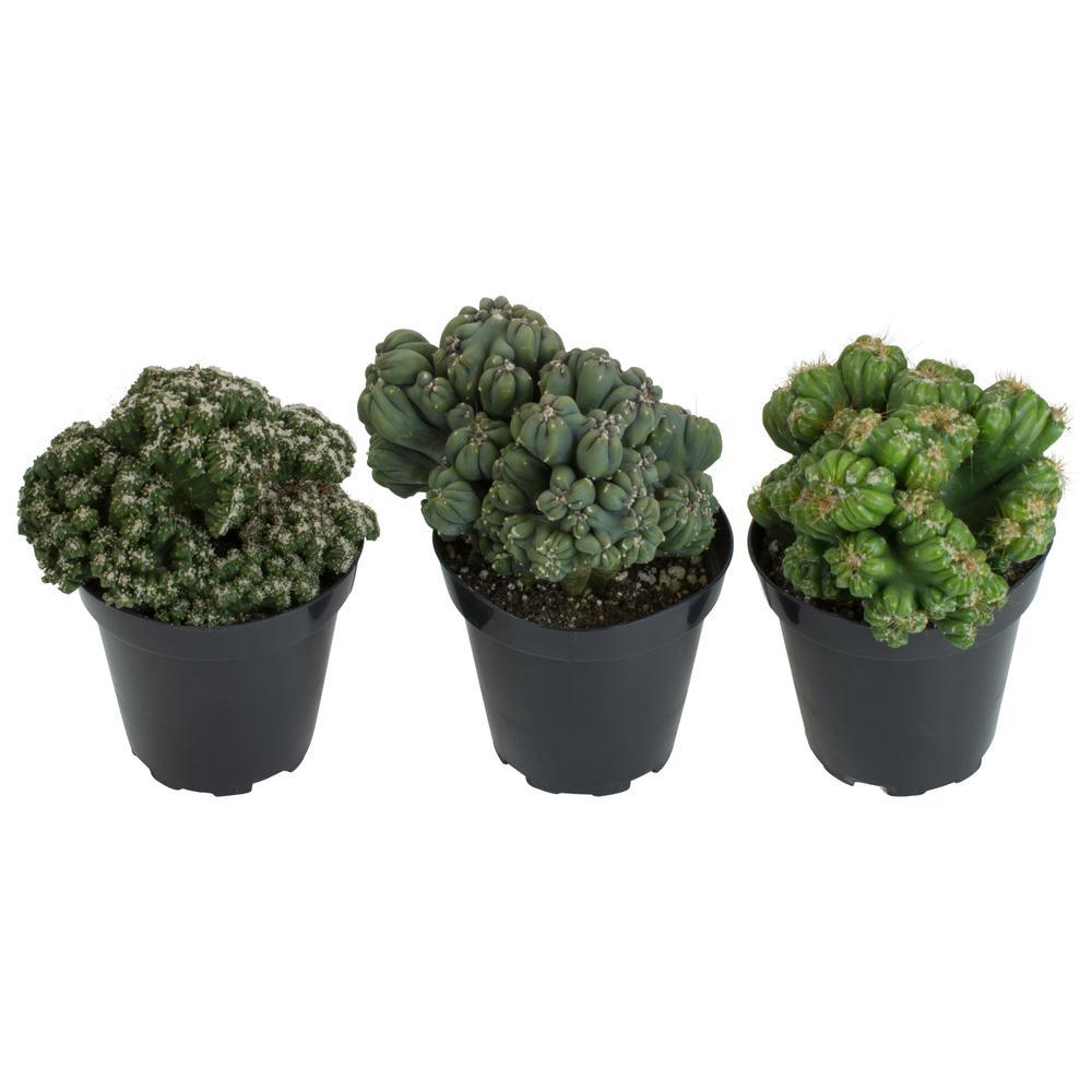 Altman Plants 3 5 In Assorted Monster Cactus 3 Pack 0881019