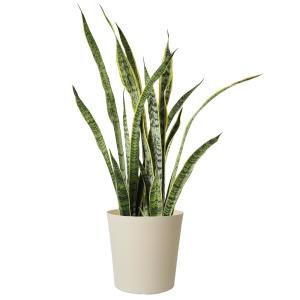 9 in. Sansevieria Plant Grower's Choice in White Decor Pot